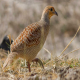 قرقاول جیرفتی (Grey Partridge)