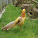 قرقاول نژاد طلایی زرد – قرقاول لیمویی (Yellow Golden)