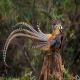 قرقاول نژاد ریوز (Reeve's Pheasant)
