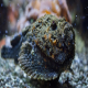 سنگ ماهی آب شیرین (Stonefish)