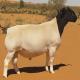 گوسفند نژاد دورپر (Dorper Sheep)