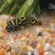 ماهی پوفر فیگور۸ (Figure 8 Pufferfish)