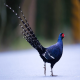 قرقاول نژاد میکادو (pheasant Mikado)