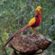 قرقاول نژاد طلایی–قرقاول چینی (Golden Pheasant)