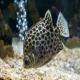 ماهی اسکات سبز (Green Scat)