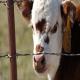 صدمات و جراحات پوستی در حیوانات و دام