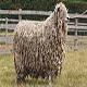 گوسفند نژاد لینکلن (Lincoln Sheep)