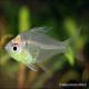 ماهی شیشه ای (Glassfish)