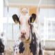 اهمیت مدیریت نشخوار در گاوهای شیری