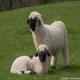 گوسفند دماغ سیاه والیس (Valais Blacknose)