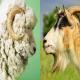 مقایسه گوسفند و بز