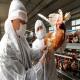 آنفولانزای پرندگان آنفولانزای پرندگان (AI) (بخش دوم)