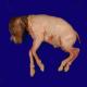 سقط بهواسطه گونههای لیستریا (Listeria)