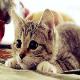 گربهسانان، کلید طلایی دستیابی بشر به درمان بیماری ایدز