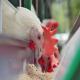 تجارب مرغداران اروپایی از مصرف پروبایوتیک ها بر بهبود تولید