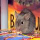 بیماری های ویروسی نوظهور خرگوش ها و جوندگان