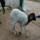کمبود سلنیوم در گوسفندان