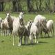علل مرگ و میر برهها و گوسفندان