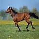 اسب نژاد هانگرین هاف برد (hungarian halfbred horse)