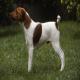 سگ نژاد اسموث فاکس تریر (Smooth Fox Terrier)