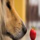 آیا مصرف گوجه فرنگی برای سگ ها مضر است؟