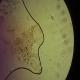 شناسایی تخم انگل های طیور