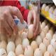 بازرسی های مرتب برای جلوگیری از صدمات ناشی از جابجایی تخم مرغ ها