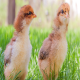 سالمونلا در مرغداری ها را چگونه کنترل کنیم