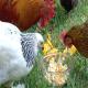 مدیریت دارویی و تغذیه ای در صنعت مرغداری
