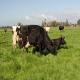 سندرم در گاوها