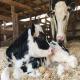 باروری با مراقبت گوساله قوی آغاز می شود
