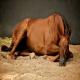 عوامل خطر در کولیک اسب