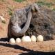 پرورش شترمرغ و تلقیح مصنوعی