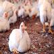 تأثیر باکتری مایکوپلاسمای سینوویا روی سلامت مرغ های تخمگذار