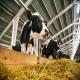 استفاده از اکسید منیزیم در تغذیه گاوهای شیرده