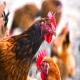 توان سازگاری ویروس آنفولانزای طیور تهدیدی برای صنعت مرغداری