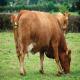 افزایش باروری گاو از دوره خشک