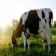 کیفیت شیر به عواملی علاوه بر شیردوشی برمی گردد