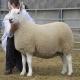 گوسفند نژاد چویوت (Cheviot)