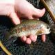 اثرات ماده Aquagerm در هچری ماهیان سردآبی