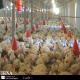 راه اندازی یک مرغداری ۲۰هزار قطعه ای چقدر تمام می شود؟