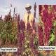 ترکیبات و خصوصیات تغذیه ای علوفه تاج خروس