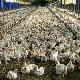 افتتاح نخستین مرغداری بدون مصرف آنتیبیوتیک در اوز