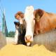پری بیوتیک ها در خوراک گوساله های شیری