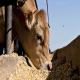 بررسی نتایج تاثیر مصرف پری بیوتیک بر گوساله