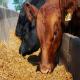 تاثیر پری بیوتیک با منبع دیواره سلولی گیاهی بر عملکرد گوساله