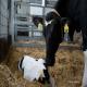 کوشش برای فهمیدن گاوهای نزدیک به زایمان و تازه زا
