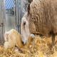 نقش عناصر کمیاب در تولیدمثل گوسفند و بز