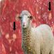 سارکوسیست در گوسفند و بز