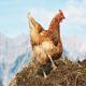 مصرف کود مرغ در خوراک دام